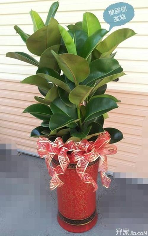 有植物的房子才有家的味道 橡胶树与家居风格的搭配