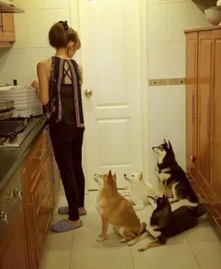 资讯生活如果家里养了四只柴犬,你知道有多幸福吗?