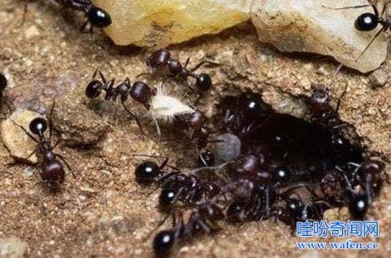 恐怖的非洲食人蚁军团4分钟把人类啃食成白骨