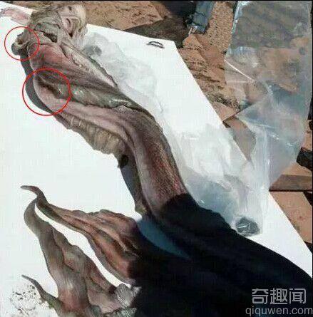 澳大利亚发现美人鱼尸体 组图