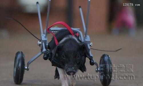 澳大利亚残疾小猪坐轮椅憨态可掬