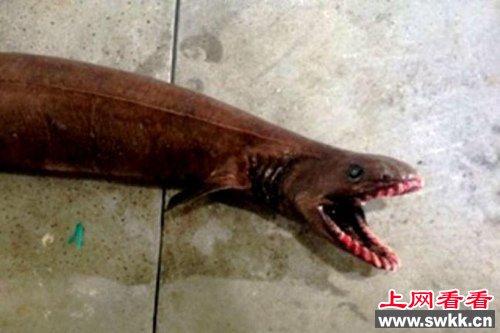 澳大利亚渔民捕获2米长罕见史前鲨鱼图
