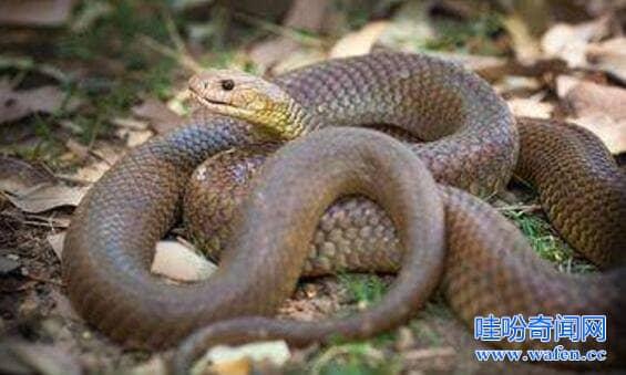 澳洲棕伊澳蛇毒性排名前三被咬一口基本魂归天国