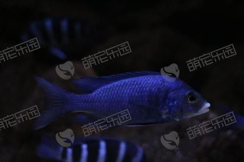 蓝宝石鱼该怎么养?